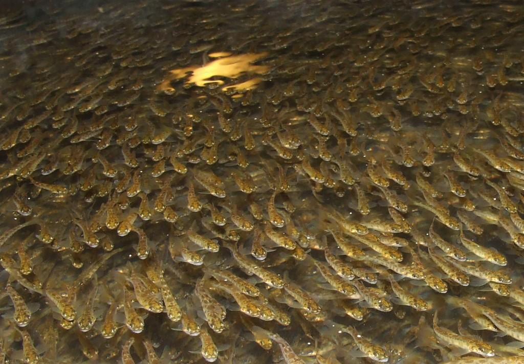Les alevins commencent s 39 alimenter saumon de france for Bebe carpe koi noir