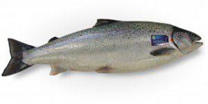 saumon en pleine forme