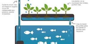 L'Aquaponie : le modèle de demain